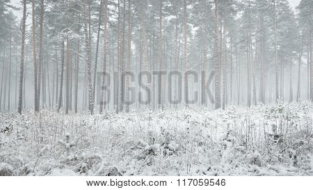 Winter Wonderland In A Snowy Pine Forest