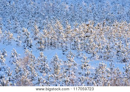 Young Baby Pine Trees Covered In Snow And Hoar Frost At Winter