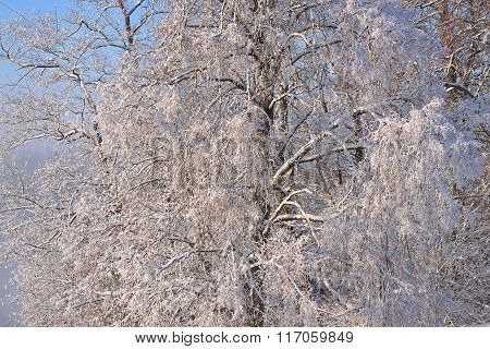 Beautiful Snowy Tree View Covered With Hoarfrost