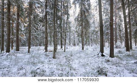 Winter Wonderland In A Snowy Pine Forest