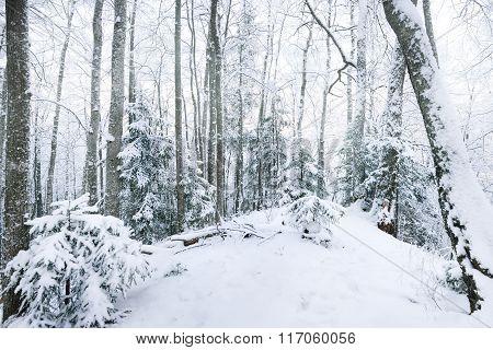 Winter Wonderland In A Snowy Forest