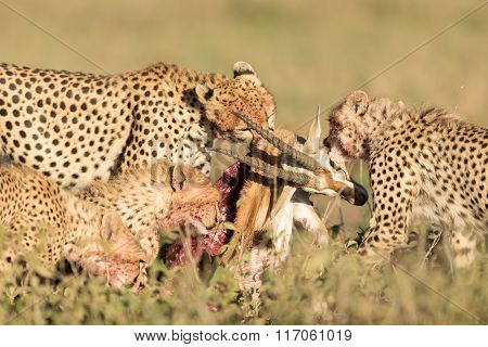 Female Cheetah With Her 3 Sub Adult Cubs, Feeding On A Thompson's Gazelle, Serengeti, Tanzania