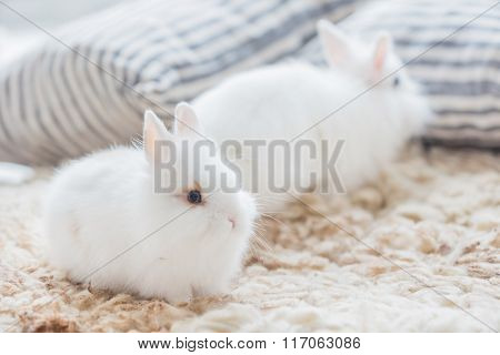 white rabbits indoor
