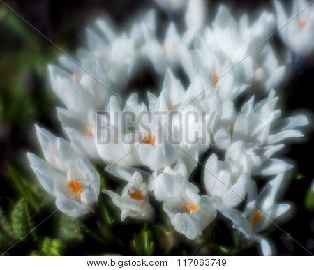 White Crocuses Blurred