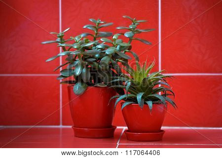 Money tree (crassula) and aloe vera in red flowerpots on red background