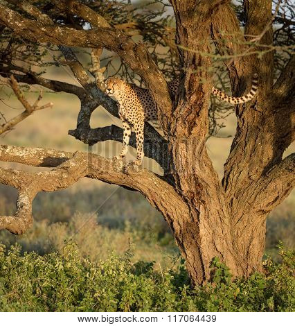 One Adult Male Cheetah In A Tree, Ndutu, Serengeti, Tanzania