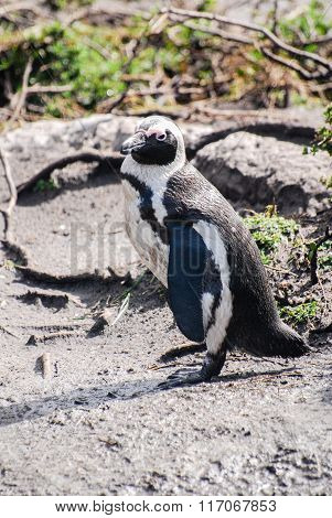 African Penguin On A Beach