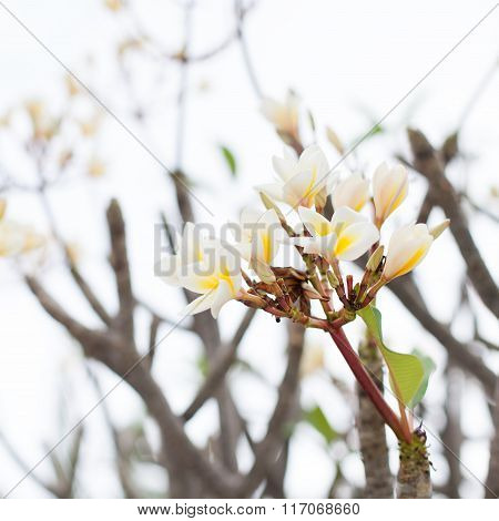 Beautiful Pink and Yellow frangipani flowers with leaves on outdoor background