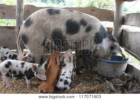 Sow And Piglets Feeding