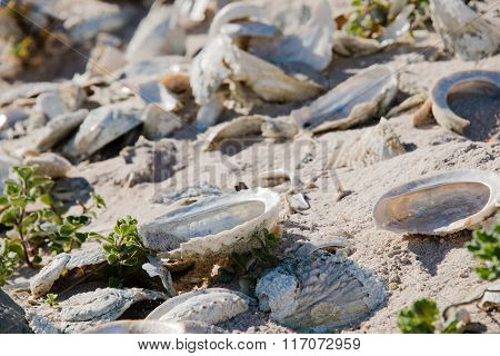 Close Up Of Abalone Shells On A Beach