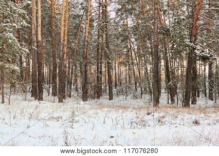 Trees In Snowy Woods