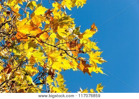 Golden autumn leaves on a blue sky background