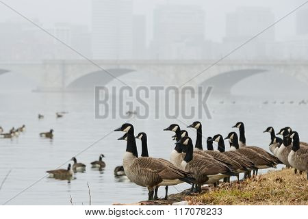 Washington DC in Winter - Geese as seen on Potomac River with Arlington Memorial Bridge background