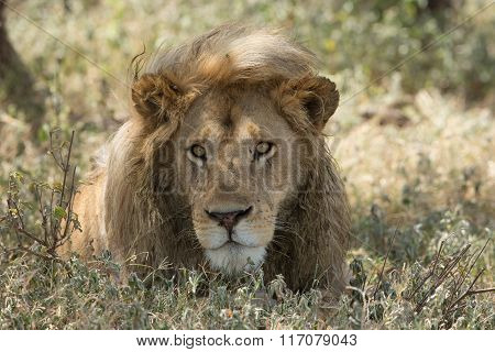 Male Lion Portrait, Serengeti National Park, Ndutu, Tanzania