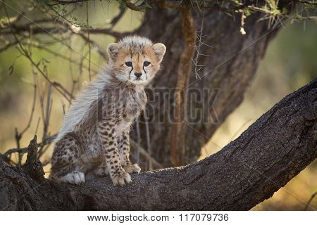 Cheetah Cub In Tree, Serengeti, Tanzania