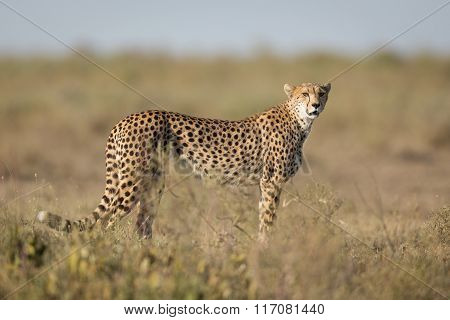 Adult Female Cheetah, Ndutu, Serengeti, Tanzania