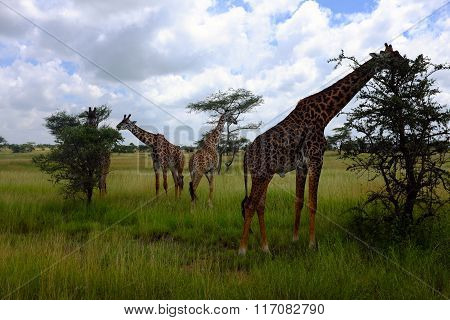 Giraffes While Safari In The Serengeti, Tanzania, Africa