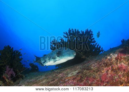 Blue spotted Puffer fish coral reef underwater sea ocean