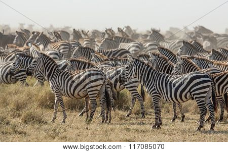Herd Of Plains Zebra In The Serengeti, Tanzania