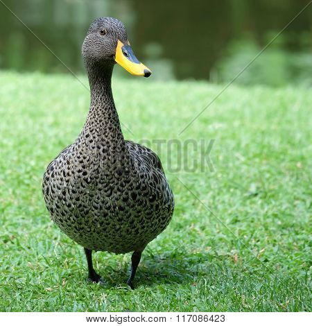 Yellow Billed Duck - F/r