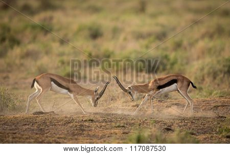 Two Male Thompson Gazelle, Fighting For Dominance, Amboseli, Kenya