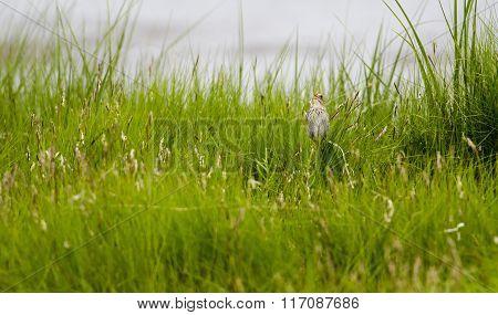 Saltmarsh Sparrow Perched