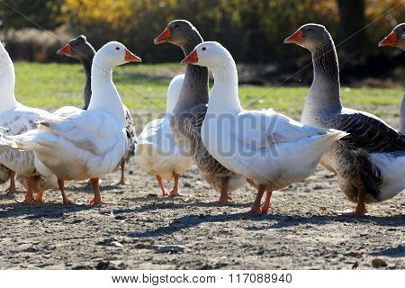 Flock Of Geese On Green Meadow In Natural Environment