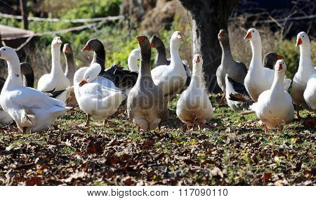 Natural Background With Domestic Poultry At Farmyard