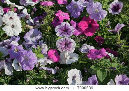 Multi-colored Petunias In The Garden. Flowers And Gardens