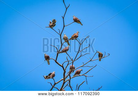 Red turtle dove perch on the dry tree