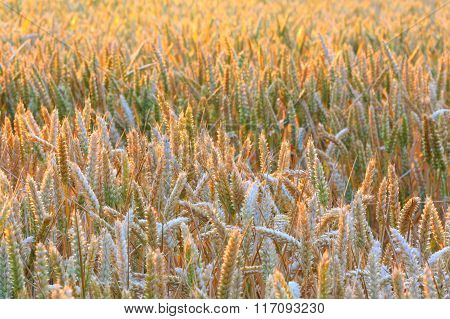 Golden cereal crops