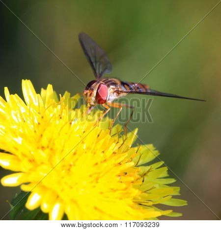 Hoverfly pollinating wildflower