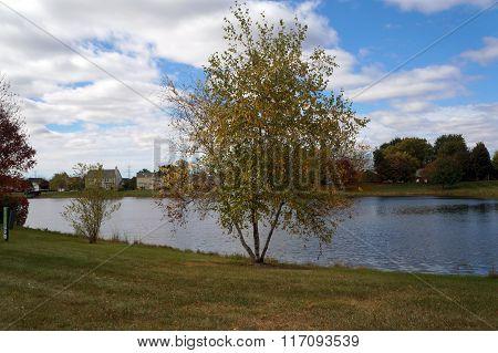 Gray Birch Tree