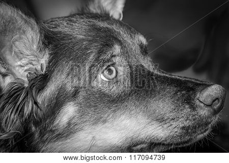 B/W Image of Dog, Closeup Profile