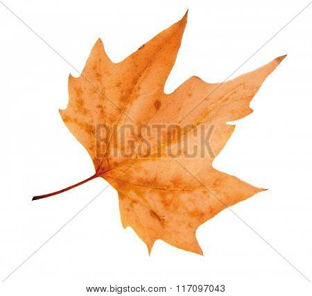 Dry maple leaf on white background