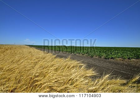 Dirt road separates a wheat and a soybean field.