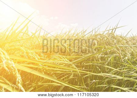 Rural scenery with golden paddy rice farm under blue sky in Hualien, Taiwan, Asia.