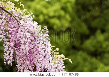 Red purple wisteria flowers