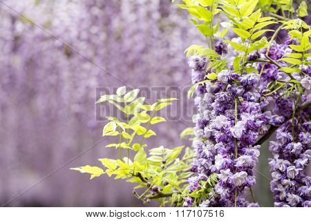 Double wisteria flowers