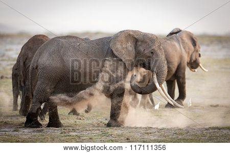 Female African Elephant Dust Bathing, Amboseli, Kenya