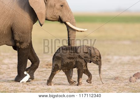 Baby African Elephant With Mother In Amboseli, Kenya