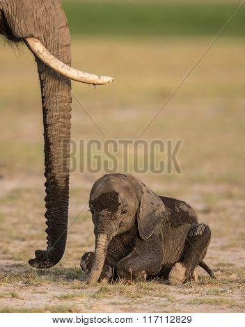 Baby Elephant Lying Down In Amboseli National Park, Kenya