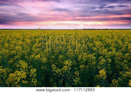 Sunset. Beautiful spring landscape, yellow flower in rapeseed field