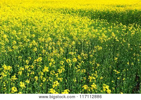 Beautiful spring landscape, yellow flower in rapeseed field as background