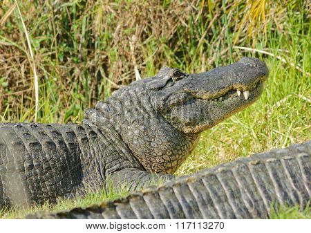 Alligator (alligator mississippiensis) resting