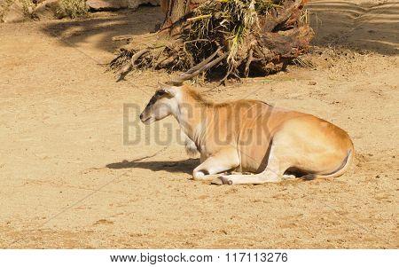 Elands (Taurotragus Derbianus) resting