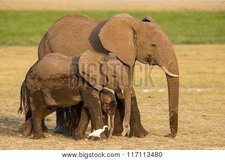 African Elephants, Amboseli, Kenya