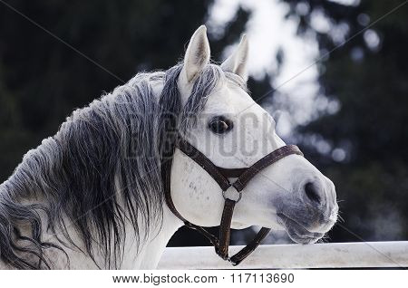 Grey Arabian stallion portrait