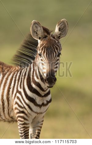 Baby Zebra In Amboseli National Park,, Kenya
