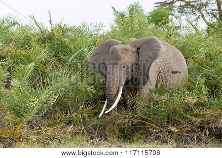 African Elephant Feeding On Palms, Amboseli, Kenya